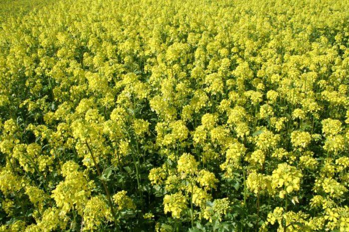 sarı hardal tohumu bitkisi